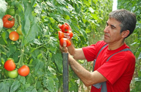 Ofertă de muncă la recolta de roșii (lângă Middlesbrough), câștig de p